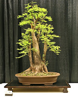 bald cypress bonsai for sale, bald cypress bonsai progression, bald cypress bonsai training, cypress bonsai care, bald cypress bonsai winter care, bald cypress bonsai forest, swamp cypress bonsai for sale, bald cypress pre bonsai for sale