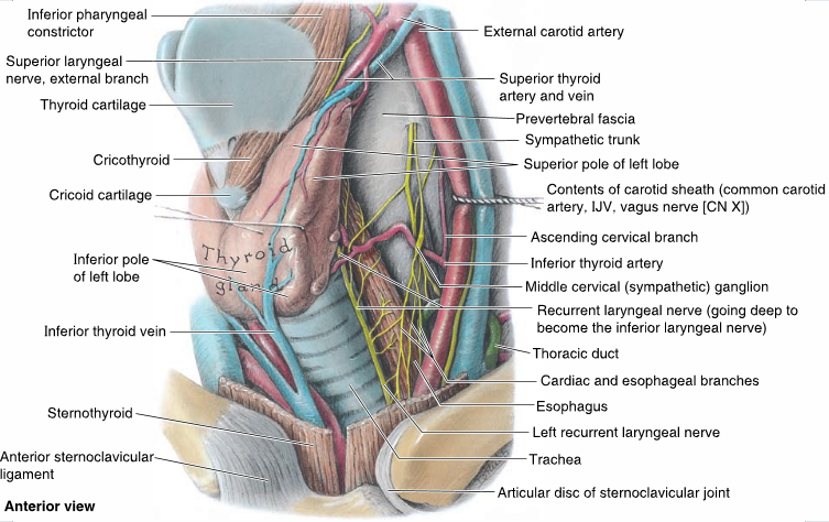 Human Anatomy: Endocrine Glands (Lecture Notes)