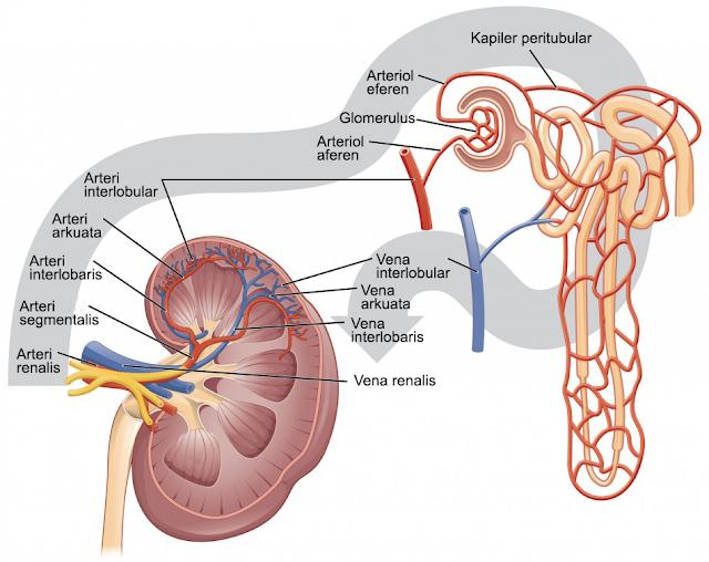 Arteriol Aferen dan Eferen