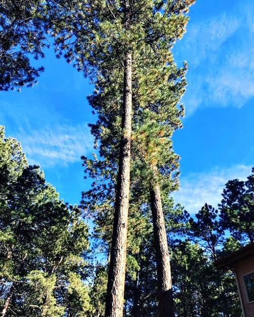 View of the sky and tops of the pines on Wissler Ranch