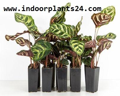 Calathea Makoyana Marantaceae indoor plant picture