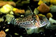 Jenis Ikan Corydoras ambiacus