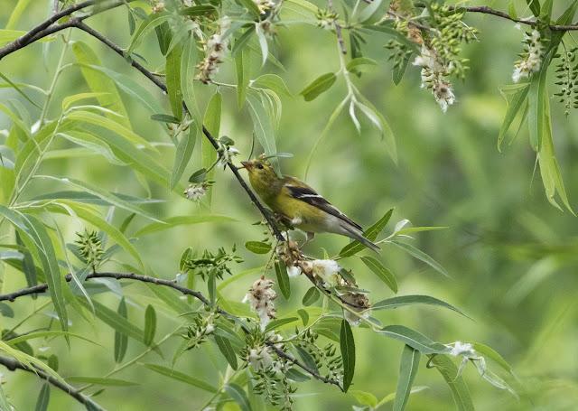 American Goldfinch - Mead Botanical Garden, Florida