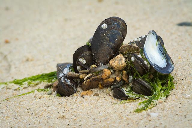 Mussel Shells, Monomoy National Wildlife Refuge