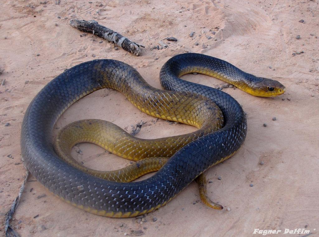 A Cobra-Papa-Pinto (Drymarchon corais)