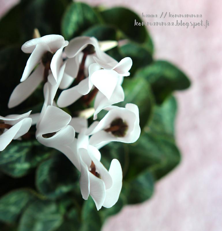 syklaami valkoinen 2kk neuvola 4v huonekasvi viherkasvi