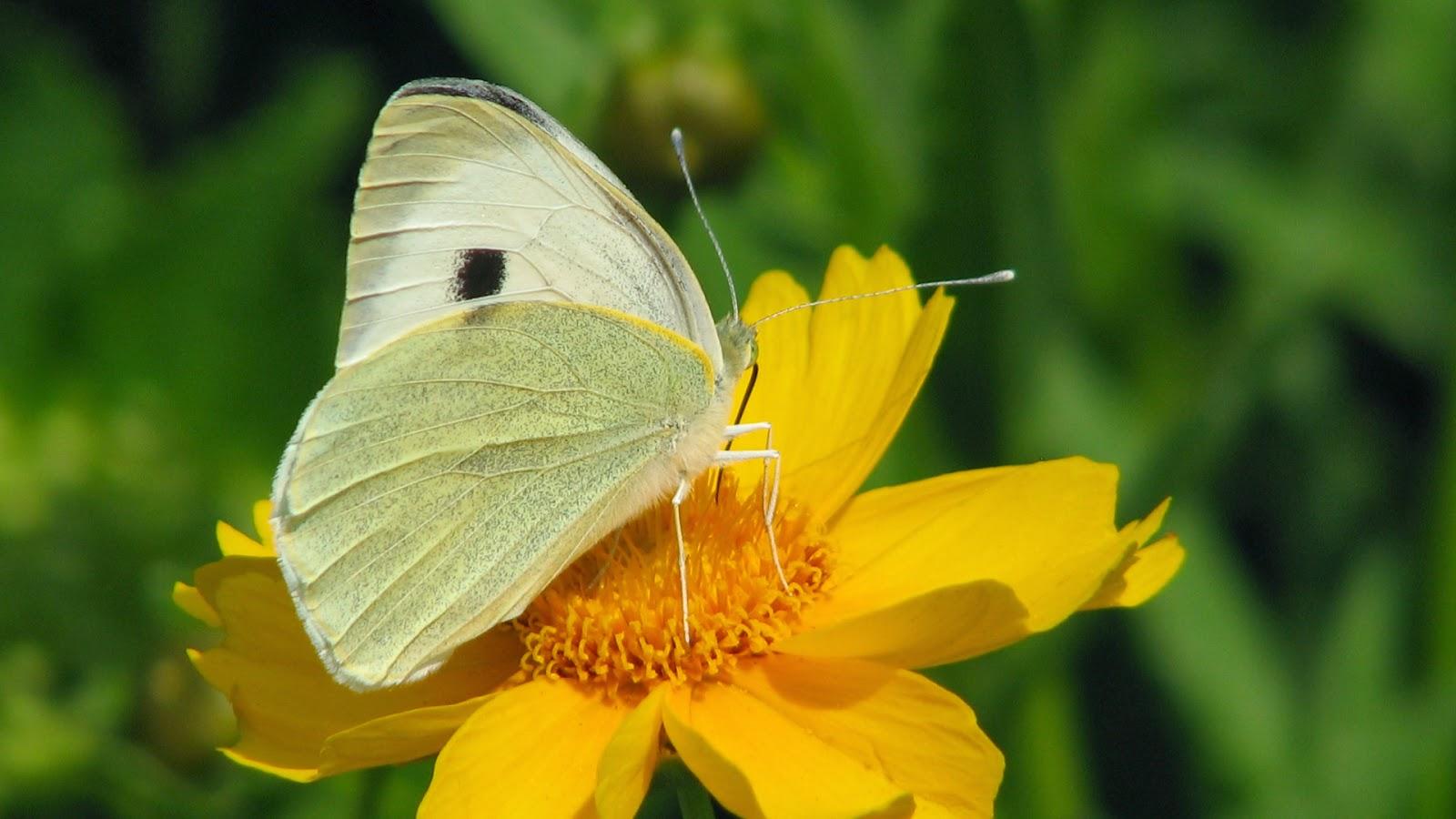 Desktop HD Wallpapers Free Downloads: Butterfly in Yellow ...