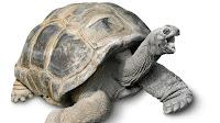 Tortoise pictures_Manouria emys