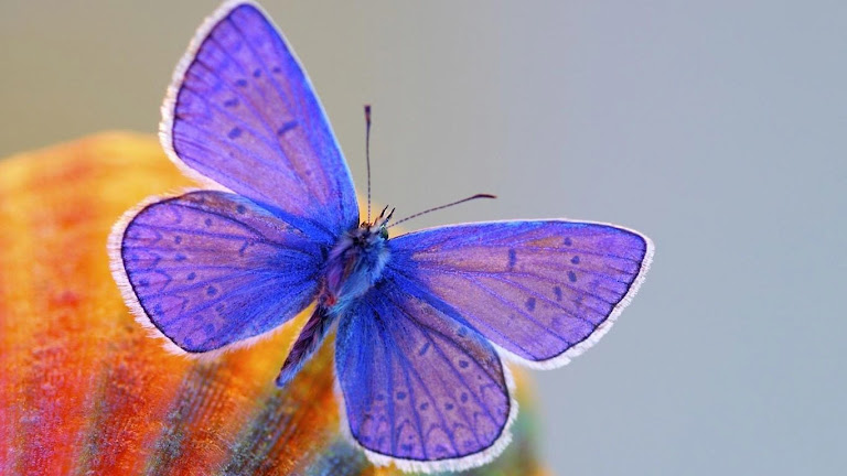 Butterfly HD Wallpaper 2
