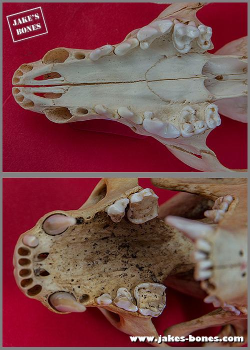 The Difference Between Fox And Badger Skulls Jake S Bones Find images of fox skull. jake s bones