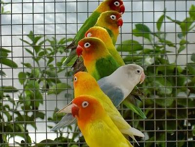 Trik Mencetak Lovebird Bahan Jadi Konslet Yang Bisa Anda Coba