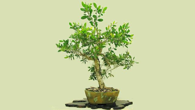 Budidaya Dan Perawatan Bonsai Kayu Putih