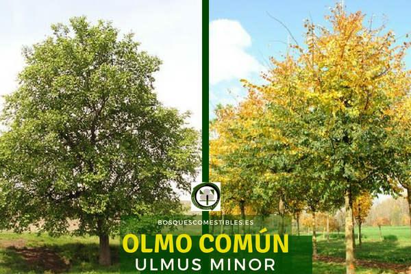 El Olmo común, Ulmus minor, también conocido como Olmo o Negrillo.