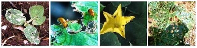 Ragam gejala serangan hama pada tanaman mentimun