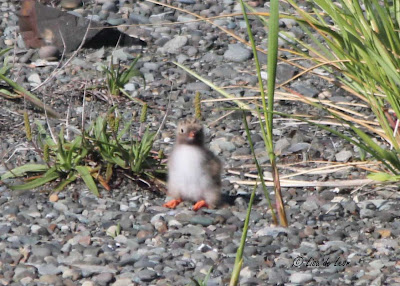Birding with Lisa de Leon: Baby Arctic Terns
