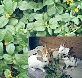 Rumput Pakan Kelinci yang Bagus