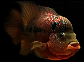 Ikan Hias Air Tawar Termahal Golden Red