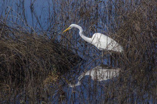 Yolo Bypass Great Egret