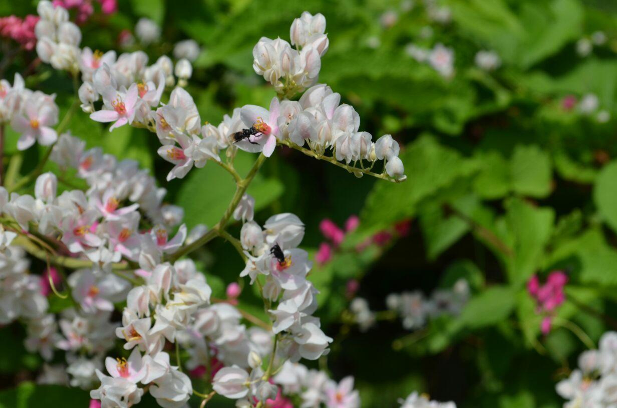 Bunga Air Mata Pengantin Koleksi Gambar Video Gambar