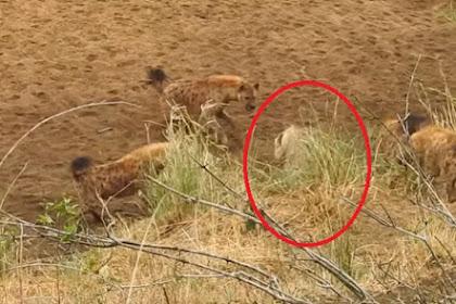 Singa Besar Terjebak oleh Kawanan Hyena, Hal yang Mengejutkan Terjadi