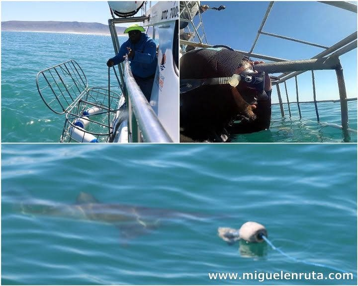Tiburon-bronce-jaula-Dyer-Island