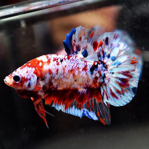 4100 Gambar Ikan Cupang Halfmoon Koi HD Terbaik