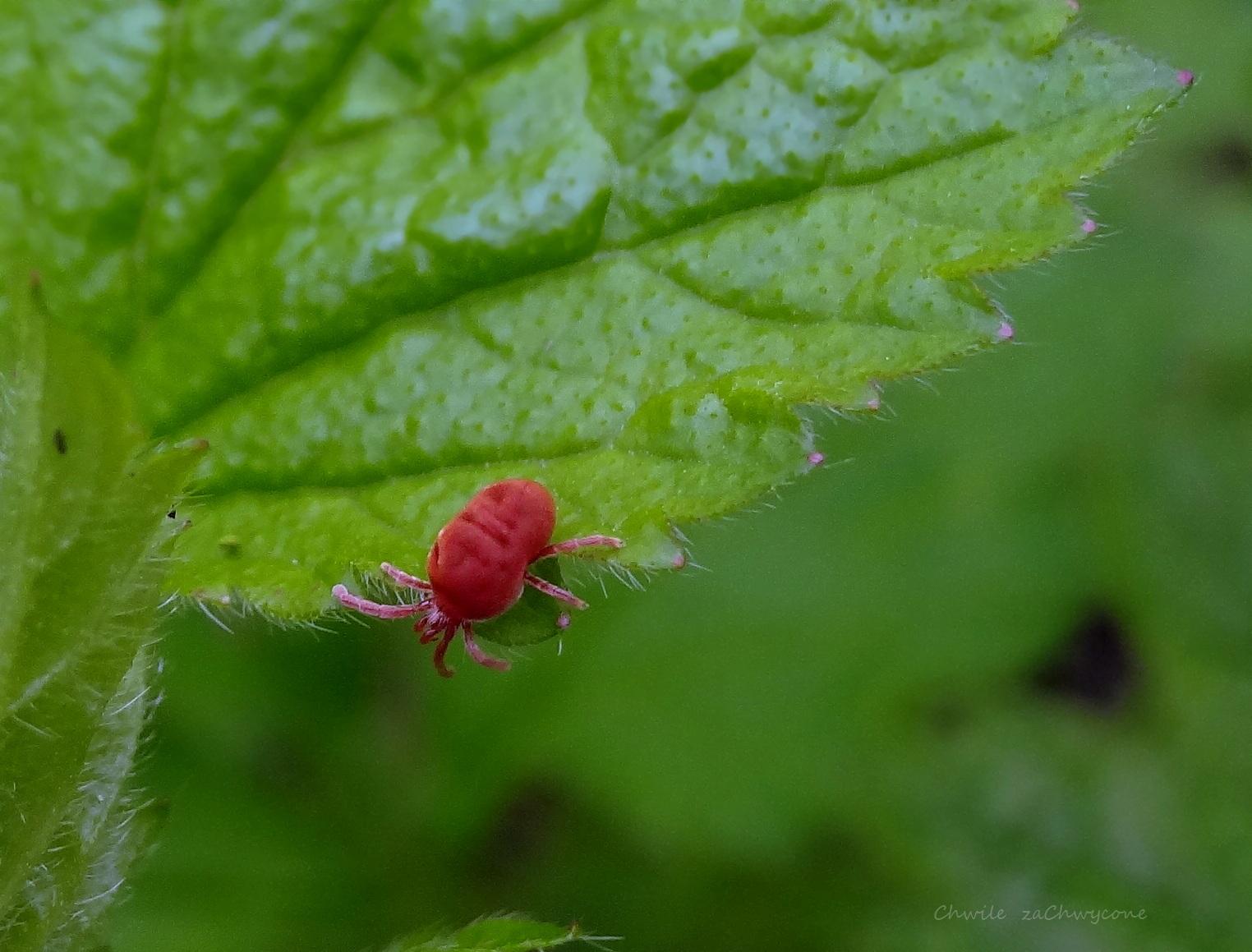 Lądzień czerwonatka, aksamitka, Trombidium holosericeum