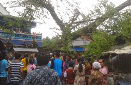 Video Detik-detik Tumbangnya Pohon Asem Kemis di Kayen Pati