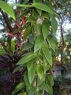 Jenis-jenis akar yaitu akar pembelit
