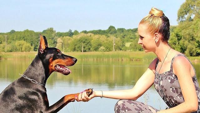 melatih anjing bersalaman dengan orang