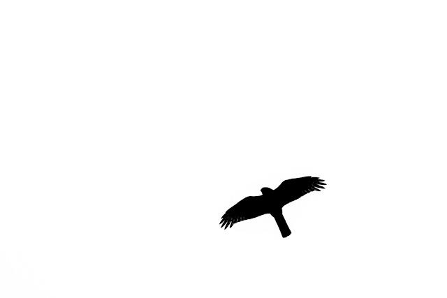 Sparrowhawk Silhouette