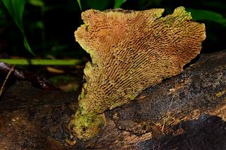 maze fungus