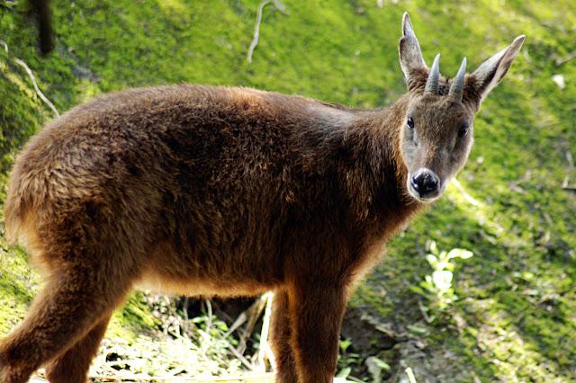 Fakta-Fakta Kambing Hutan dan Kumpulan Foto kambing Hutan