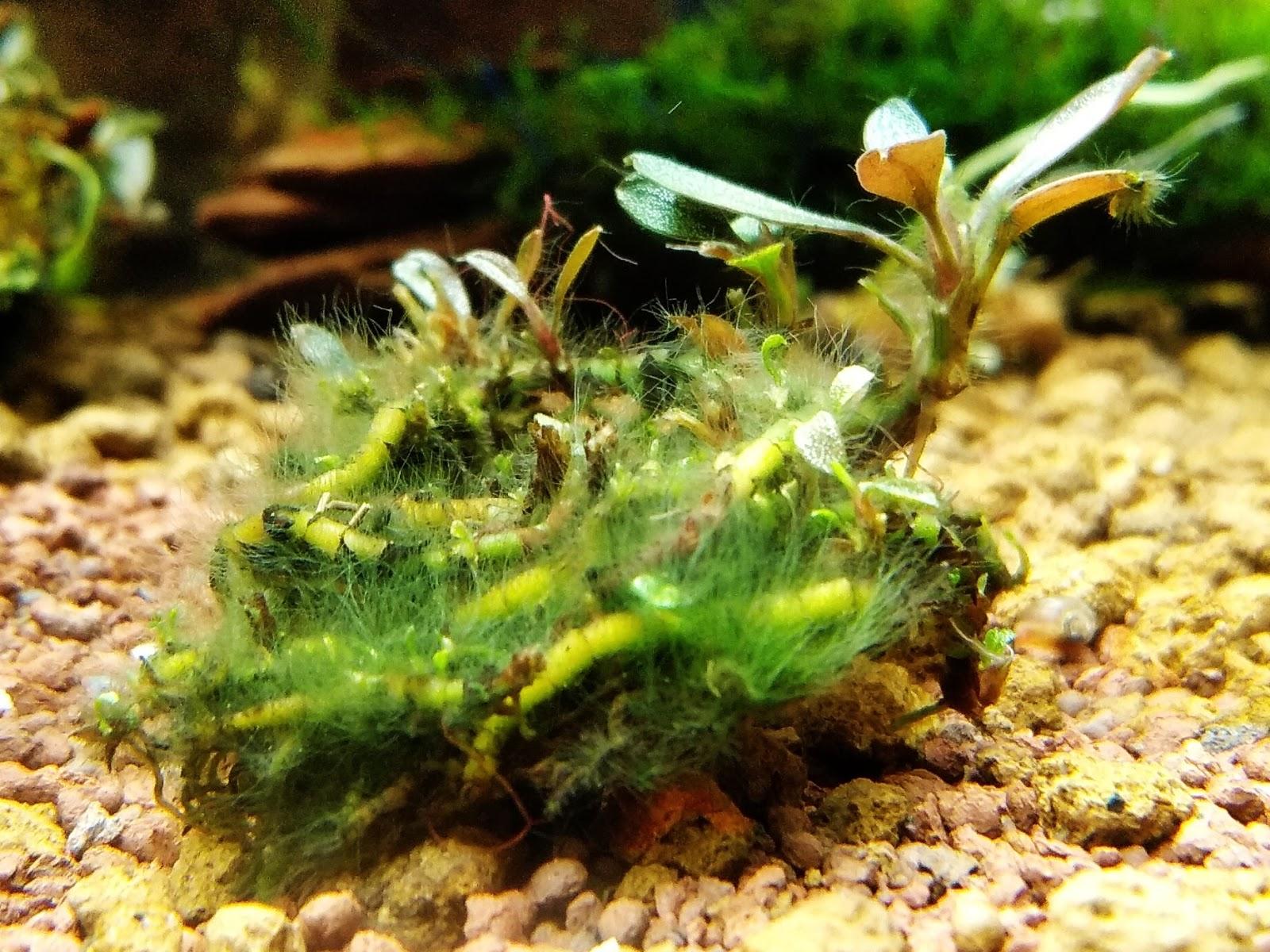 Một trường hợp diệt rêu tóc trong hồ thủy sinh thành công dùng thuốc Nuphar