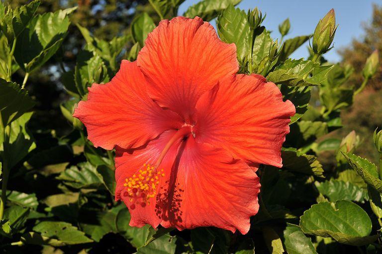 Hibiscus flower in Hawaii