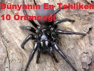 Dünyanın En Tehlikeli 10 Örümceği