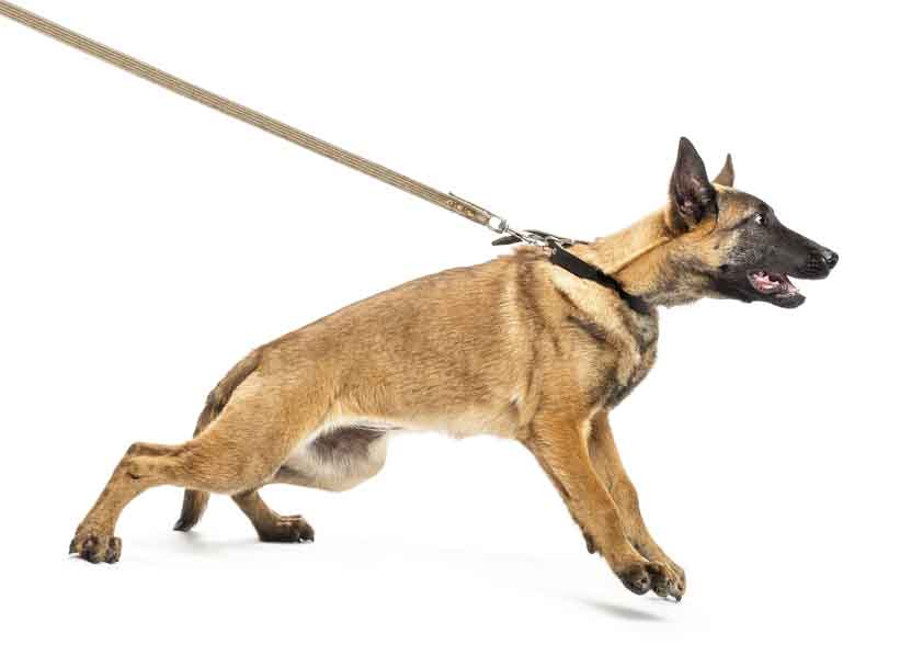 Young Belgian Malinois pulling hard on his leash