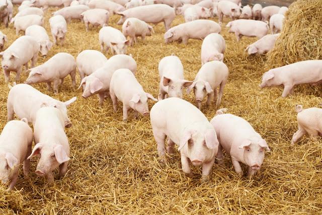 Bổ sung phytase có thể cải thiện khả năng tiêu hóa của P Photodune-3980937-young-piglet-on-hay-at-pig-farm-m