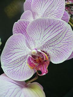 Phalaenopsis Taisuco Outperform
