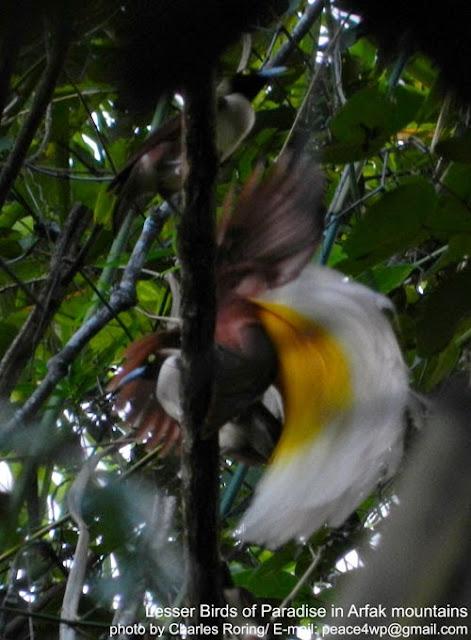 Burung Cendrawasih di hutan Susnguakti Manokwari