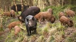Μπόνους 100 ευρώ για κάθε νεκρό αγριογούρουνο πρόκειται να λάβουν οι κυνηγοί που δραστηριοπούνται σε συγκεκριμένες περιοχές Συγκεκριμένα, η ...