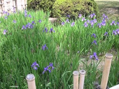 purple iris, Japan