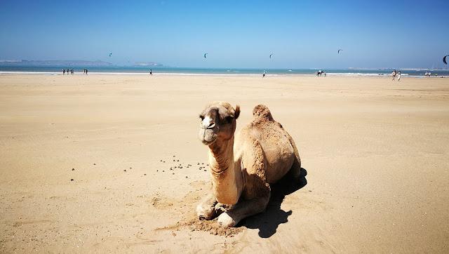 Wielbłąd-gównoróbca na plaży w Essaouira, Maroko