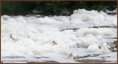 Pelicans submerged in foam - photo by Shelley Banks