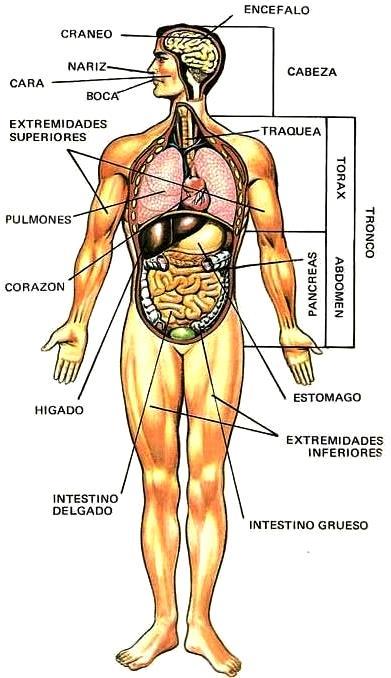 Dibujo del Cuerpo Humano indicando sus partes