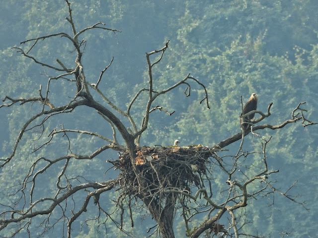 Pallas's Fish Eagle with young