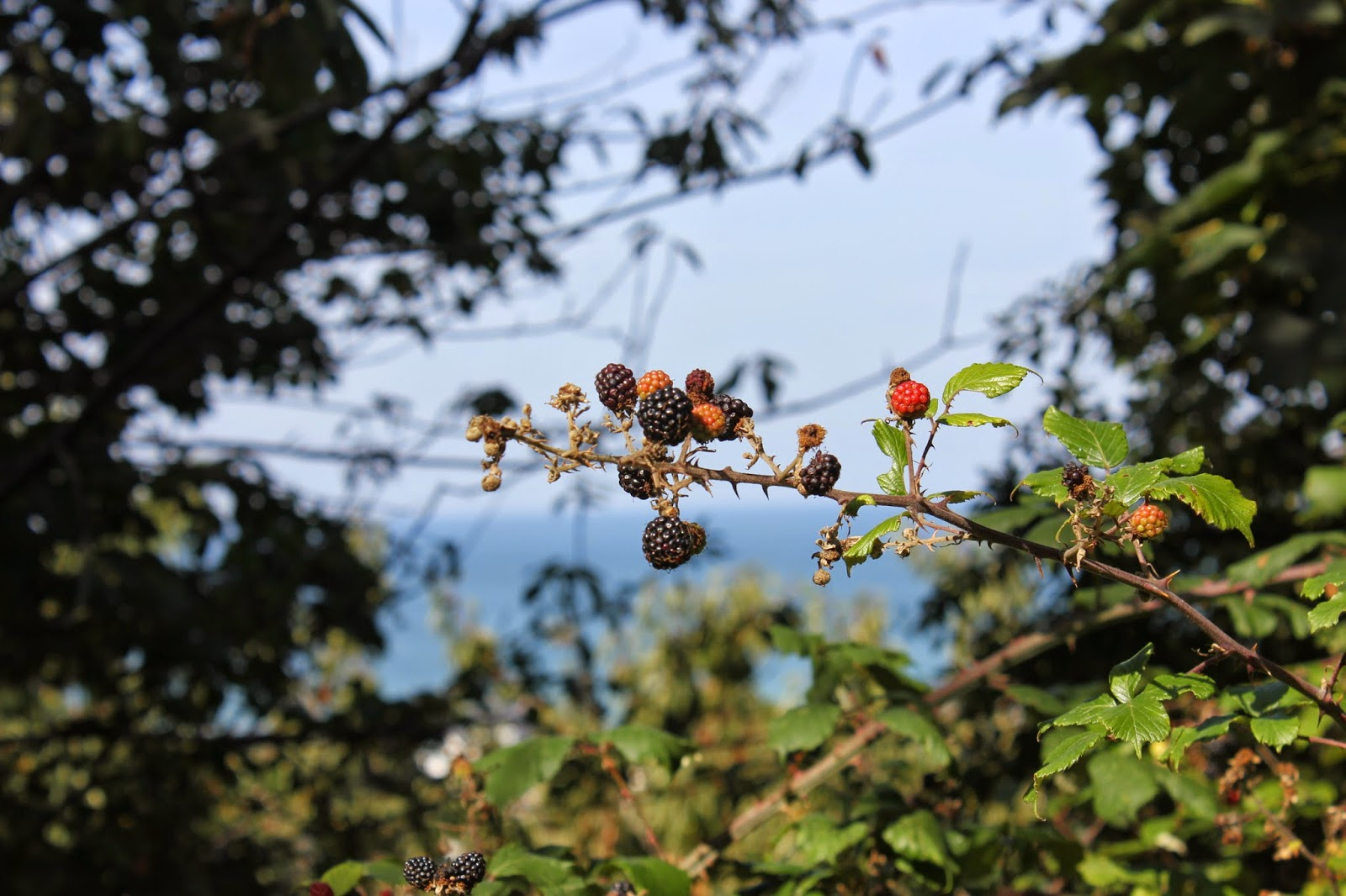 Blackberries on our coastal path