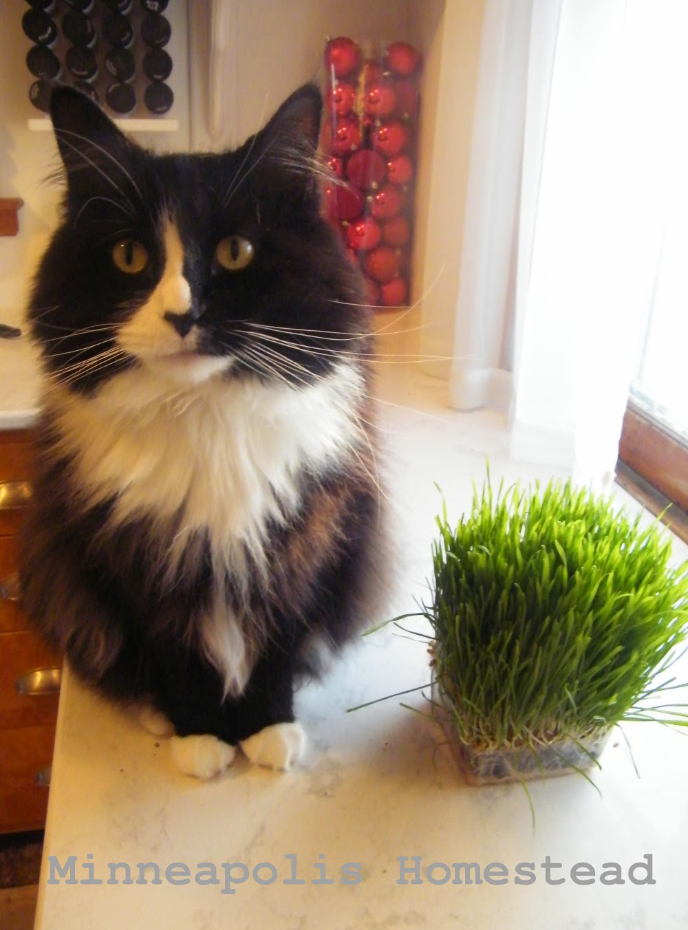 Gardening for a healthier cat Valerian, Cat Grass, Cat Nip