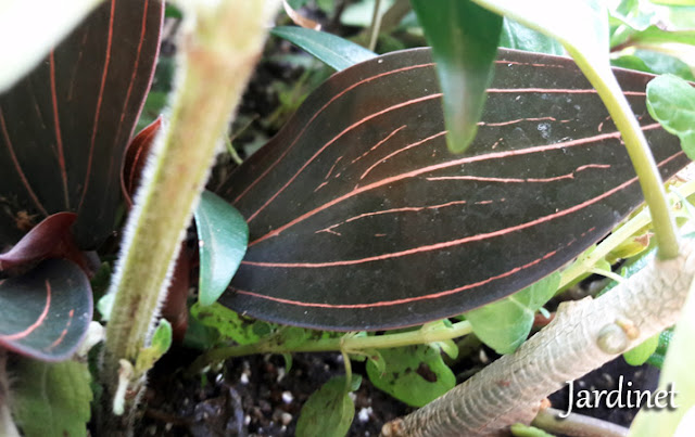 Ludisia discolor orquídea terrestre