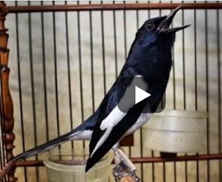 Cara Menggacorkan Burung Kacer